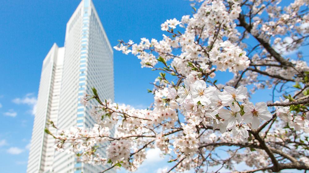 シーガイアの桜