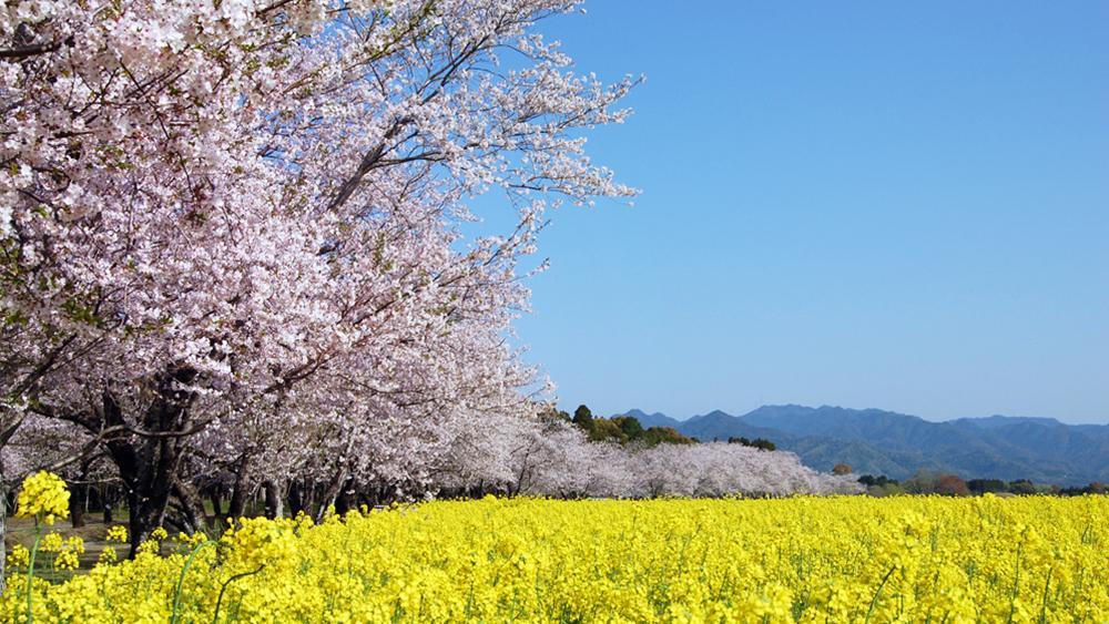 桜と菜の花(西都原)